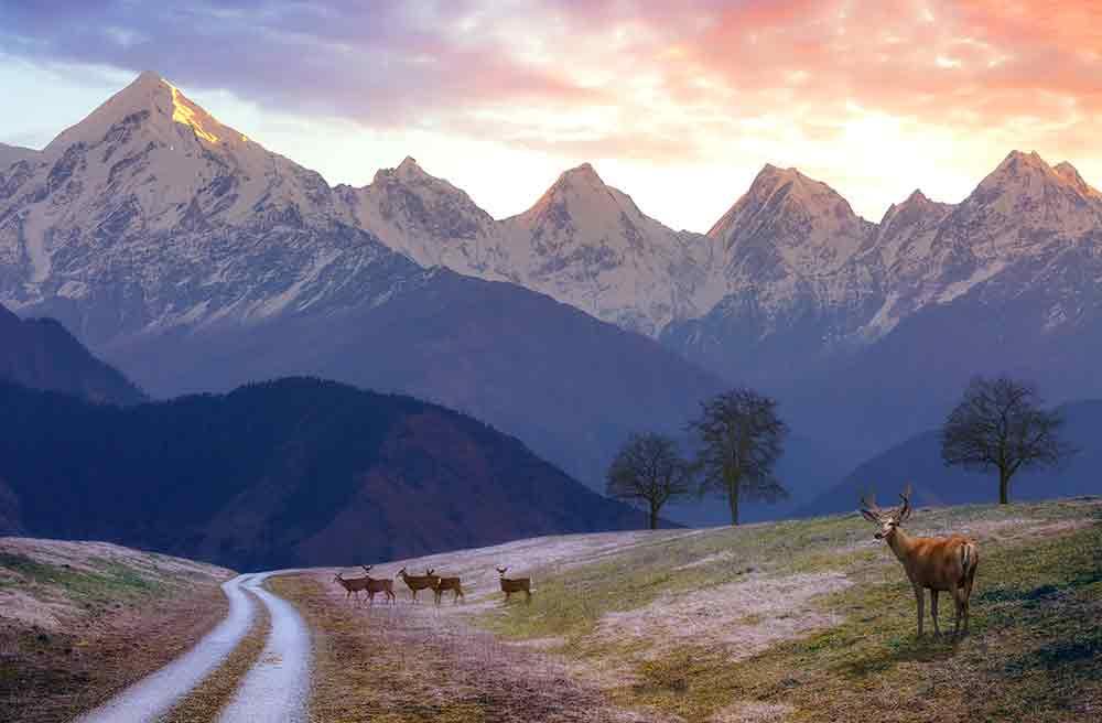 Cervo muschiato Himalayano