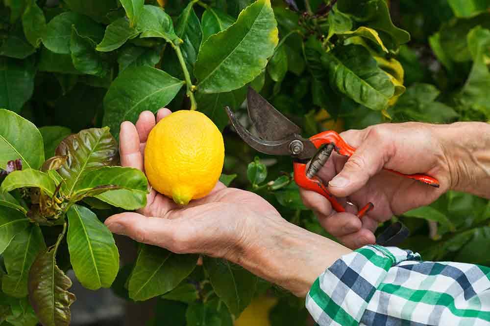 Coltivazione di limone per note naturali di profumi di nicchia in Italia