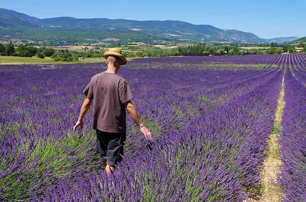 Lavender field cultivation for synthetic perfumes